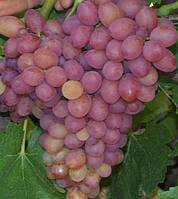Саженцы винограда СОФИЯ, столовый, крупноплодный, ранний