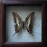 Сувенир - Бабочка в рамке Graphium antheus. Оригинальный и неповторимый подарок!, фото 1