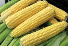 Семена сахарной кукурузы Леженд F1 10 кг