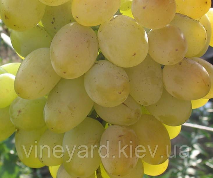 ГАЛАХАД, саженцы раннего винограда