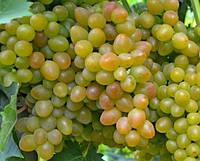 Саженцы винограда АЛАДДИН, столового, крупноплодного
