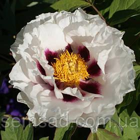 Пион Древовидный Увайт Анастейша \ paeonia suffruticosa White Anastacia ( саженцы 3 года )