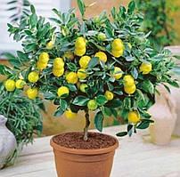 Лимонное дерево в домашних условиях! Упаковка 30 шт.