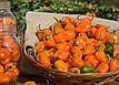 Перец Хабанеро оранжевый, 8 шт, Садыба Центр, фото 5