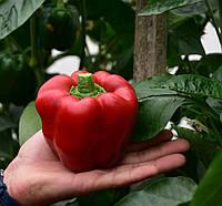 Элитные семена красного сладкого перца Фелипе F1, профпакет Sakata 1 000 семян, теплицы и открытый грунт, фото 1