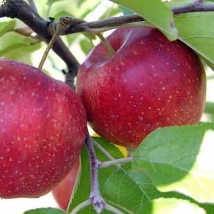 Саженцы Яблони Джонагоред - зимняя, высокоурожайная, крупноплодная