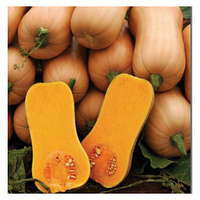 Среднеранний гибрид мускатной тыквы Ариель F1 Sakata, Семена овощей почтой в профупаковке 1 000 семян
