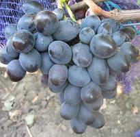 Виноград Мавр