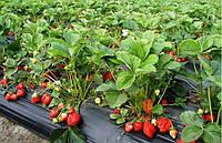 Технология посадки клубники осенью на агроволокно