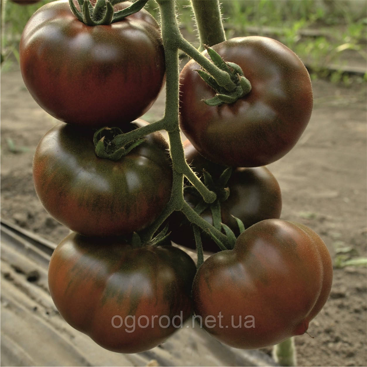 Бронзон F1 250 шт семена томата высокорослого чёрного Clause Франция