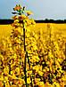 Семена озимого рапса алиот