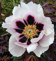 Пион Древовидный Увайт Анастейша \ paeonia suffruticosa White Anastacia ( саженцы 4 - 5 лет цветущие ), фото 2