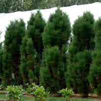 Сосна чорна Пирамидалис (Pinus nigra Pyramidalis)