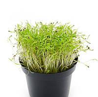 УКРОП Микрозелень, зерно семена укропа органического для проращивания 20 грамм, фото 1
