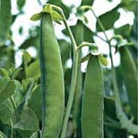 Поздний сорт овощного гороха Грунди Syngenta, профессиональные семена овощей в крупной фасовке 100 000 семян