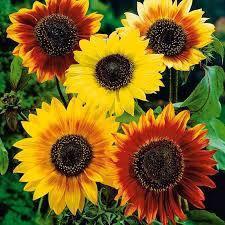 Насіння соняшників