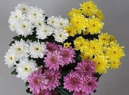 Насіння хризантеми