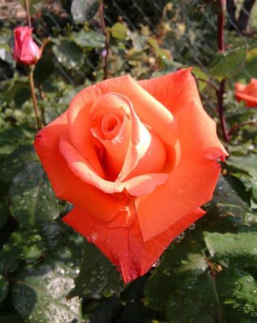 Роза Христофор Колумб (Christophe Colomb) ч/г, фото 2