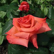 Роза Христофор Колумб (Christophe Colomb) ч/г, фото 3