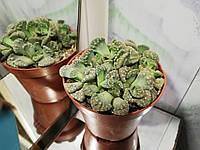 Живые камни (литопсы) №2
