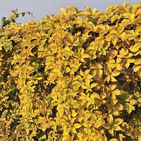Виноград дівочий Єллоу Уолл (Yellow Wall)