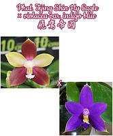 """Орхидея, размер 2.5"""" без цветов Сорт Tying Shin Fly Eagle × violacea var. indigo blue"""