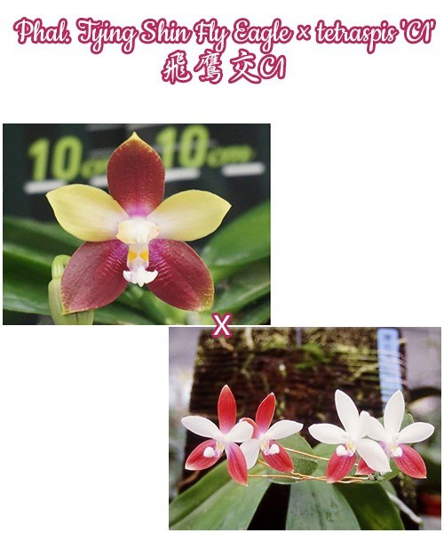 Орхидея подростки. Сорт Tying Shin Fly Eagle × tetraspis 'C1', горшок 1.7 без цветов