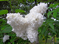 Сирень белая махровая(саженцы)