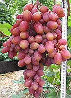 Саженцы винограда Юлиан( очень ранний)