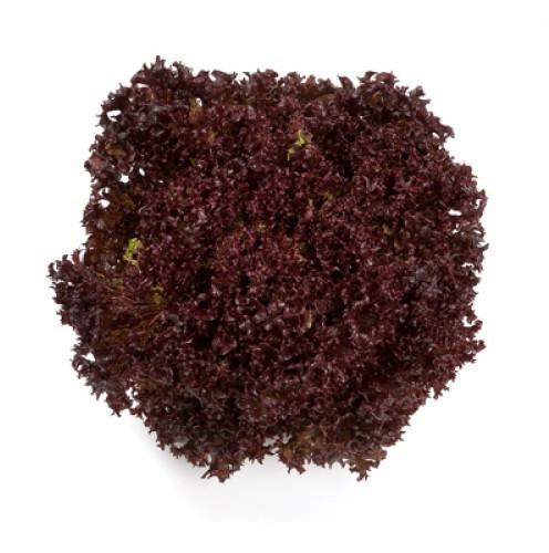 Высокопродуктивный сорт темно-красного салата Революция, профсемена крупная фасовка 5000 семян (драже) Nunhems