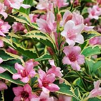 Вейгела цветущая Нана Вариегата, фото 1