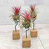 Подставки-кубики для Тилландсий - атмосферных растений, фото 2