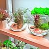 Флорариум с тилландсией Ионантой Рэд, фото 3