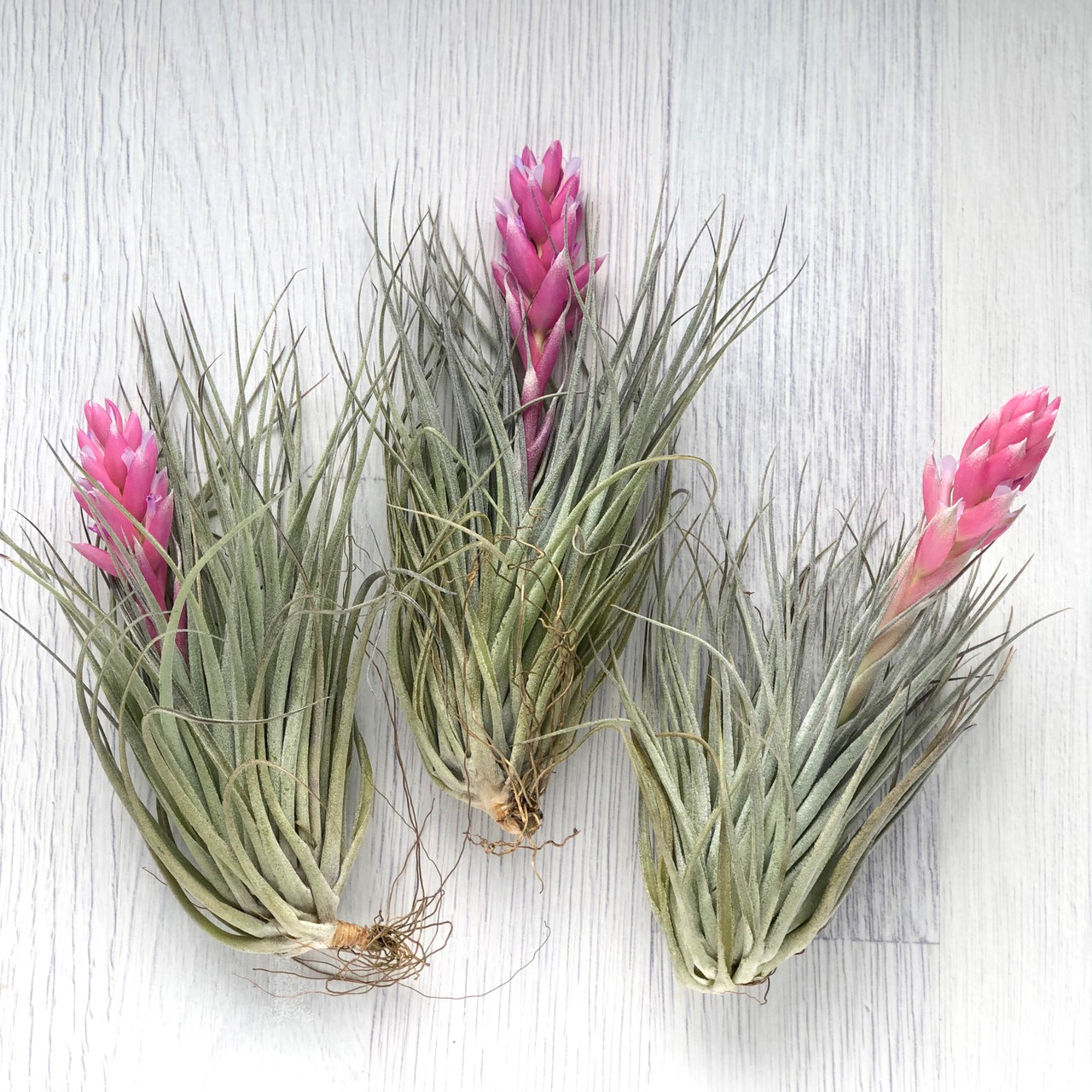 Тилландсия атмосферная Хьюстон Cotton Candy (Tillandsia Houston Cotton Candy)