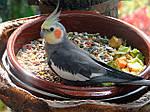 Чем же кормить средних попугаев?
