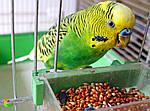 Выбираем лучший корм для волнистого попугая