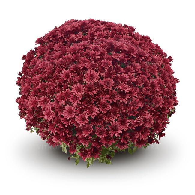 Саджанці Хризантема розсада Multiflora Arluno Red касета (100шт)