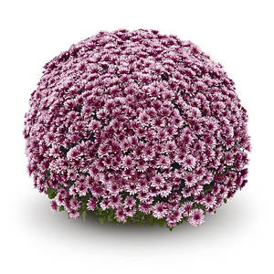 Саджанці Хризантема рассада Multiflora AduroPink касета (100шт)