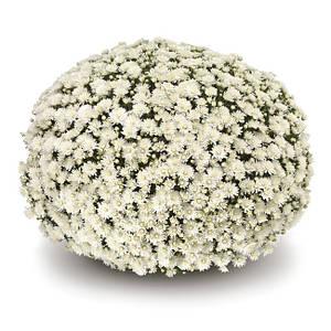Саджанці Хризантема рассада Multiflora Artemis White касета (100шт)