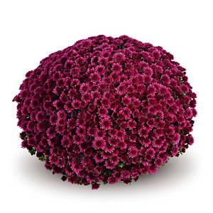 Саджанці Хризантема рассада Multiflora Davola Violet касета (100шт)