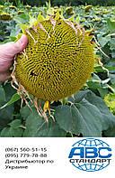 Соняшник стійкий до Гранстару 50 грам КАРАТ. Врожайне насіння 40 ц/га стійке до посухи та вовчка КАРАТ. Екстра, фото 1
