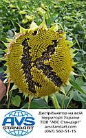 Семена подсолнечника под Гранстар КАРАТ 50 грамм разово. Гибрид подсолнечника КАРАТ устойчив к заразихе шести расам A-F. Урожайный 40 ц/га. Стандарт и Экстра фракции в наличии на складе. Урожай 2018-19 года.