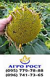 Соняшник під гербіцид Гранстар КАРАТ, Насіння Сумо під Експрес посухостійкі. Стандарт, фото 3