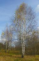Саженцы березы высотой 1 - 4 метра.