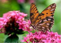 Схема для вышивания  на габардине Бабочка на цветке