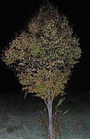 Саженцы липы высотой 0,5-4 метра.
