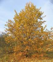 Саженцы черемухи высотой 0,5-4 метра.