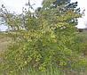 Саженцы боярышника высотой 0,5-3 метра.
