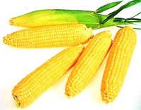 Семена кукурузы сахарная Леженд F1, (Голландия), 0,25кг