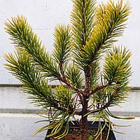 Сосна горная картенс Винтер Голд С2 (Pinus mugo Carstens Wintergold ), фото 1